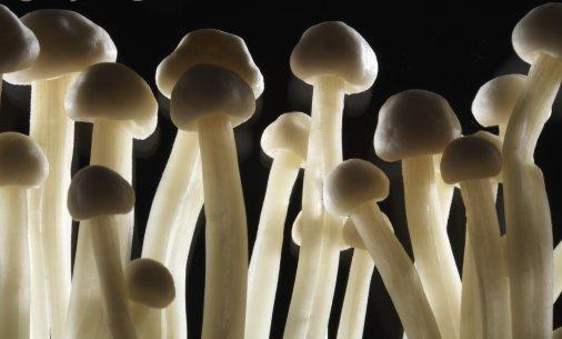 грибы глюциногены где растут фото